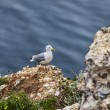 The European Herring Gull on the Etretat Cliffs — Stock Photo #21866897