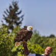 Bald Eagle and Male Bird Tamer - Stock Photo