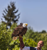 Bald Eagle and Male Bird Tamer — Stock Photo