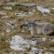 Alpine Marmot  — Stock Photo