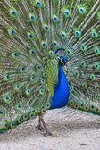 Screaming Peacock — Stock Photo