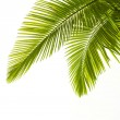 Plam leaves isolated on white — Stock Photo