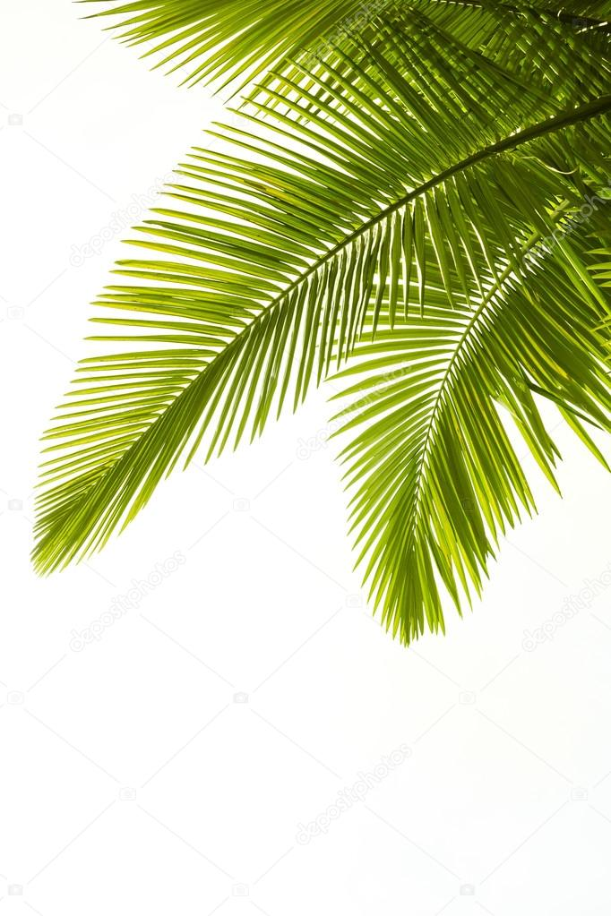 Plam leaves isolated on the white background  Stock Photo #12725842