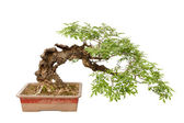 Cascade style bonsai tree on white — Stock Photo