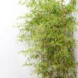 Clump of bamboo by white wall — Stock Photo #26487449