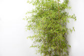 The clump of bamboo by the white wall — Stock Photo