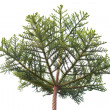 Stock Photo: Pine tree crown isolated on the white background