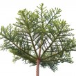 Pine tree crown isolated on the white background — Stock Photo