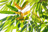 Bamboo leaves on white background — Stock Photo
