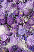 Aster Violet Close up Background — Stock Photo