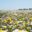 Field Wild Camomiles — Stock Photo