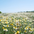 Field Wild Camomiles Close Up — Stock Photo