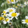 Stock Photo: Wild camomiles close up