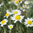 One Wild Camomiles Close Up — Stock Photo