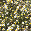 Wild camomiles close up — Stock Photo #26576787