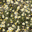 Wild camomiles close up — Stock Photo