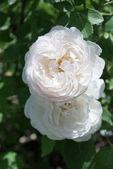 Two White Roses — Stock Photo