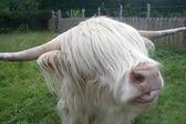 Bílý highland kráva — Stock fotografie