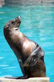 Waving seal — Stock Photo