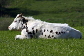 Normande cow resting — Stock Photo