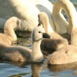 Young swans — Stock Photo #12087948