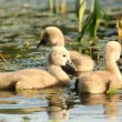 Young swans — Stock Photo #12087949