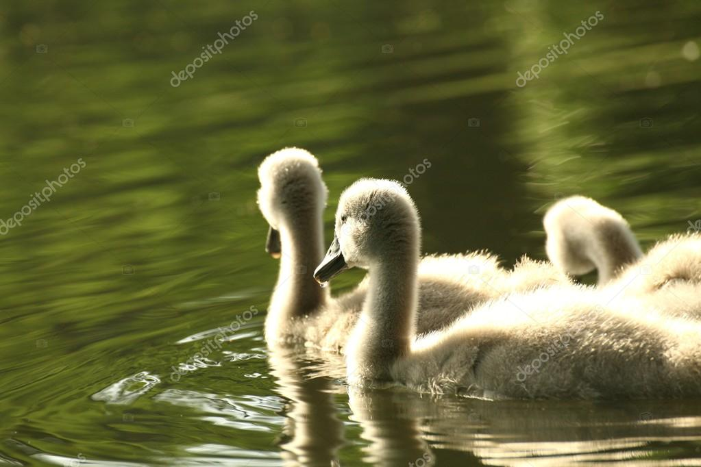 Family of young swans bathed in afternoon sun.  Stock Photo #12762840