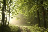Spring forest on a foggy morning — Stock Photo