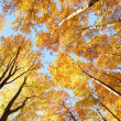 Stock Photo: Autumn canopy