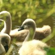 Stock Photo: Young swans