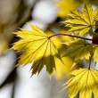 Maple leaves in the forest — Stock Photo #2455630