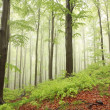 Misty sring beech forest - Stock Photo