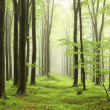 Stock Photo: Spring beech forest in the fog