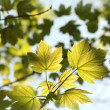 Spring maple leaves — Stock Photo #25366515