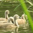 Cygnets — Stock Photo