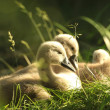 Cygnets — Stock Photo #27053121