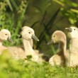 Cygnets — Stock Photo #27053129