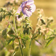 Geranium pratense — Stock Photo #29153111