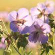 Geranium pratense — Stock Photo #29153123