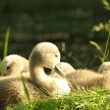 Cygnet — Stock Photo #29194573