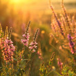 Purple loosestrife — Stockfoto