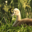 Cygnet — Stock Photo #29693173