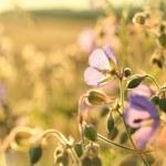 Geranium pratense — Stock Photo