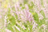 Purple Heather (Calluna vulgaris) — Stock Photo