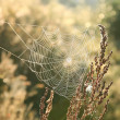 Stock Photo: Spider web at dawn