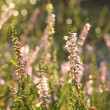 Purple Heather (Calluna vulgaris) — Stock Photo