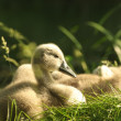 Cygnet — Stock Photo #31414609