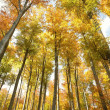 Stock Photo: Autumn beech forest