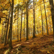 Stock Photo: Autumn forest at dawn