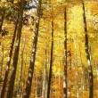 Majestic autumn beech forest — Stock Photo